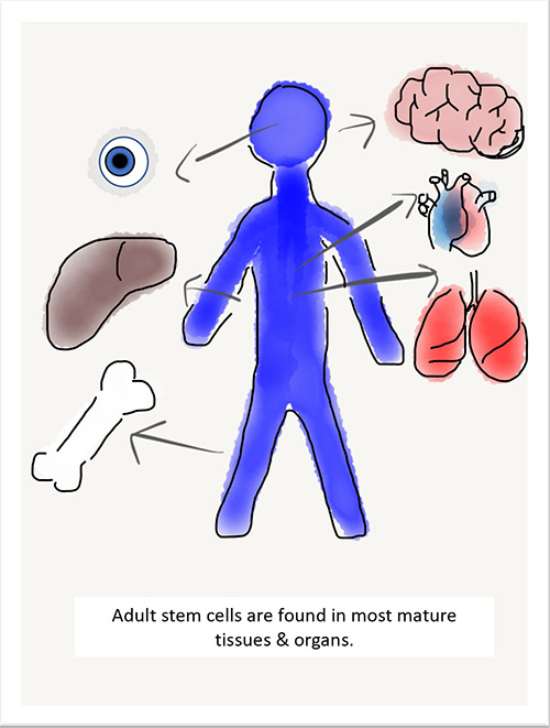 Adult stem cells graphic