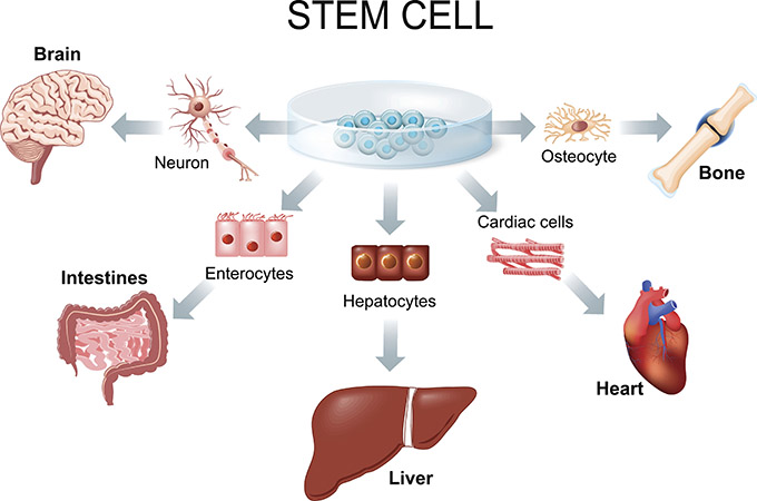 Stem cell application graphic